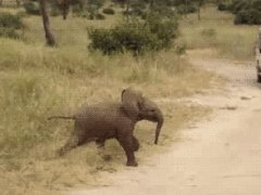 Baby elephant scampering
