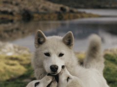 Wolf tenderness
