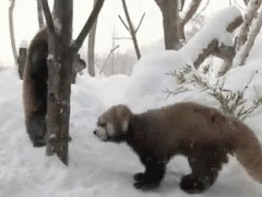 3 red pandas