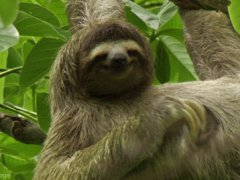 Sloth scratching himself