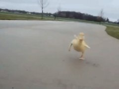 Duck chase