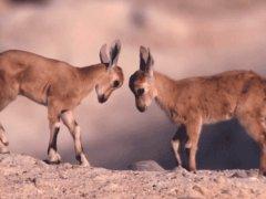 Fight of cuteness
