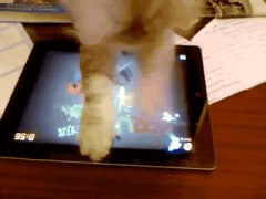 Cat plays fruit ninja on ipad