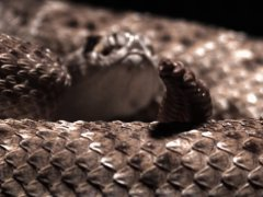 A western diamondback rattlesnake