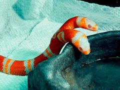 Double headed Alibino Milk Snake