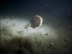 Scallop swimming