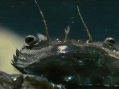 Coward mantis shrimp