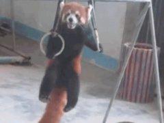 Red panda lift ups