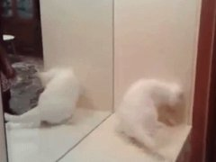 Angry cat vs mirror