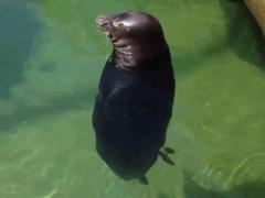 Seal in meditation