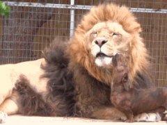 Dachshund licks lion's face