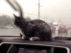 Kitten reaction to windshield wipers