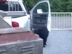 Bear opens truck door