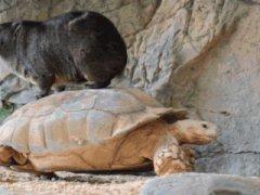 Hyrax rides tortoise