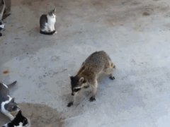 Raccoon stealing cat food