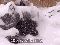 Panda falls in snow