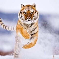 A Tiger In Winter