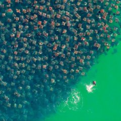 A Sweeping School Of Stingrays