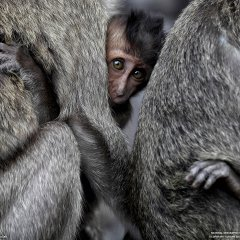 Monkeys, Indonesia