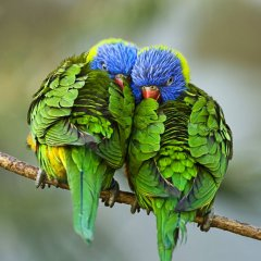 Lorikeets In Love