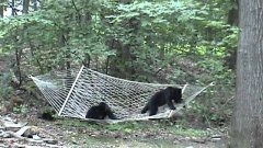Bear Cubs Play On Hammock And Fall