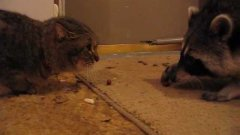 Raccoon Willie vs angry cat