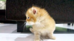 Adorably Sad Kitten With Twisted Leg Syndrome