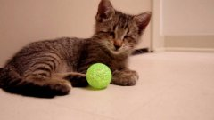 Blind Kitten Plays With Toys