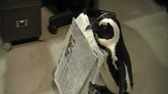 Penguin Fetches Newspaper