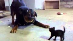 Tiny Kitten Spars With Huge Rottweiler Dog