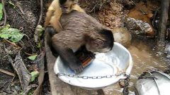 Monkey Washes Dishes In The Forest