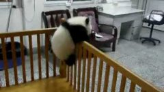 Baby Panda Tries To Escape From Play Pen