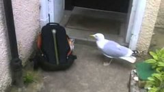 Seagull Steals Snacks From Backpack