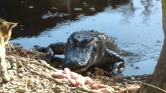 Cat Fights Off Alligator Over Chicken Meat