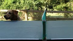 Funny Dog Watching Table Tennis