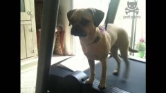 Tiny Dog Walks On Treadmill With Only Hind Legs
