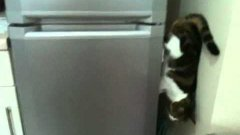 Cat walking down fridge