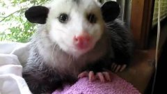 Possum eating strawberry