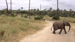 Adorable baby elephant scampers to keep up with family