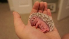 7 day old hedgehog takes a nap