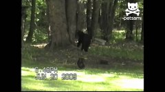 Courageous cat scares bear up tree
