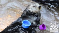 Nellie the sea otter stacks cups