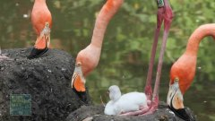 Flamingo chick takes its first steps