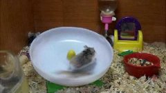 Two hamster running on horizontal wheel