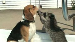 Curious raccoon investigates patient dog's mouth