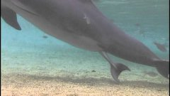 Incredible dolphin birth at dolphin quest hawaii