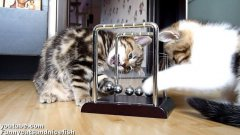 Kittens play with Newton's cradle