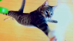 Cat jumping up and swatting toy in super slow motion
