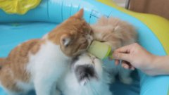 Kittens Puppies Cats Enjoy Popsicles