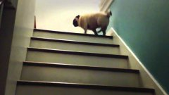 Pug bounces up stairs step by step